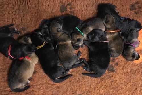 margman puppies2